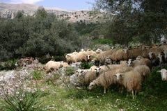 Kreta sheeps im Mittag Lizenzfreies Stockbild
