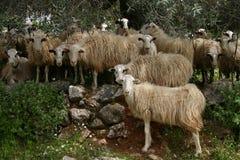 Kreta sheeps im Schatten Lizenzfreie Stockfotos