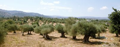 Kretenzisch olijfbosje stock foto