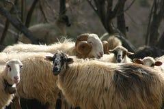 Kretenzische schapen Stock Foto's