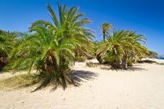 Kretische DatumPalmen auf Vai setzen, Griechenland auf den Strand Lizenzfreie Stockfotografie