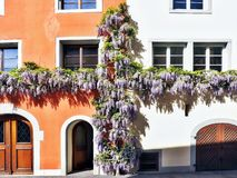 Cross of blue thick hanging glycinia Wisteria, on a house wall stock photos