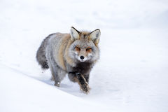 Kreuz Fox Lizenzfreies Stockfoto