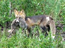 Kreuz Fox mit Kaninchen Stockfotos