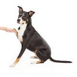 Kreuz Staffordshires Terrier, das Tatze rüttelt Lizenzfreies Stockbild