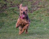 Kreuz Yorkshires Terrier Zucht Stockfotos