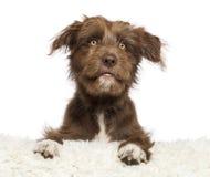 Kreuzen Sie den Hund, der auf weißem Pelz und dem Schauen liegt Stockbilder