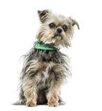 Kreuzen Sie Hund mit dem Bandanasitzen, lokalisiert auf Weiß Stockfotografie