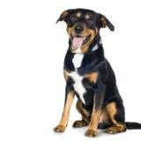 Kreuzen Sie Spürhund und Rottweiler (6 Jahre) stockbild