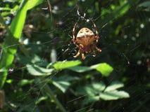 Kreuzspinne, die ein Spinnennetz errichtet Stockbilder
