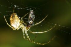 Kreuzspinne, die eine Fliege isst Stockfotografie