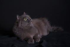 Kreuzung der sibirischen und persischen Katze, die auf dunklem Hintergrund liegt Lizenzfreies Stockfoto