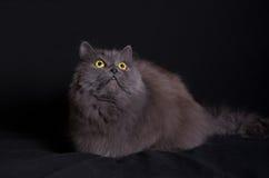 Kreuzung der sibirischen und persischen Katze, die auf schwarzem Hintergrund liegt Stockbilder