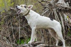 Kreuzung von Jagd und Nordhund, der auf einer Wurzel des gefallenen Baums steht stockfoto