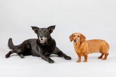 Kreuzungshund und Dachshund, beste Freunde Lizenzfreies Stockfoto