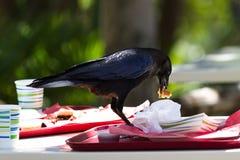 Krähe mit dem übrig gebliebenen Mittagessen Lizenzfreie Stockfotos