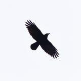 Krähe mit den Flügeln verbreitet im Schattenbild Stockfotos