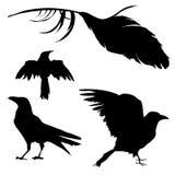 Krähe, Rabe, Vogel und Feder Lizenzfreie Stockfotos