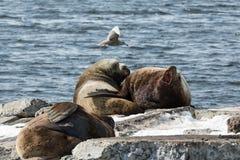 Krähenkolonie-Stellerscher Seelöwe oder Nordseelöwe Halbinsel Kamtschatka Lizenzfreie Stockfotografie