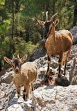 Kri-kri de las cabras salvajes en la garganta de Samaria Fotografía de archivo libre de regalías