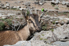 Kri-Kri in Samaria gorge, Crete, Greece Royalty Free Stock Images