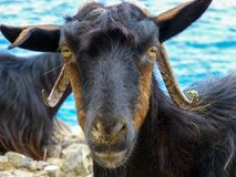 Free Kri-kri Wild Cretan Goat Close Up Stock Photography - 140206592