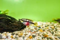Kribensis Cichlid fish Royalty Free Stock Image