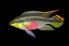 Kribensis (Purple Cichlid) Royalty Free Stock Photo