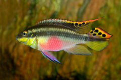 Kribensis (Purple Cichlid) Stock Photo