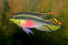 Kribensis (Purple Cichlid) Royalty Free Stock Images