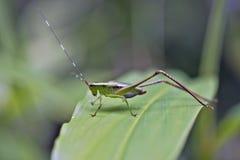 Kricket auf dem grünen Blatt im Wald Stockfotografie