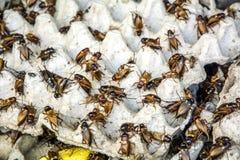 Kricket: Gryllidae Lizenzfreie Stockbilder