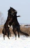 Kricket zwei Stallions Stockfoto