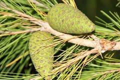 Kriechen Myoporum, Myoporum-parvifolium stockbilder