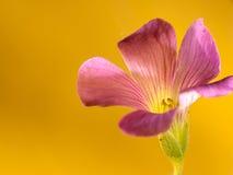 Kriechen oxalis mit netter Hintergrundfarbe lizenzfreies stockbild