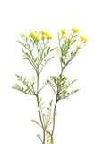 Kriechen yellowcress (Rorippa sylvestris) stockfoto