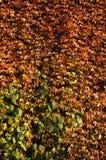 Kriechende Anlage des Herbstes Stockfoto