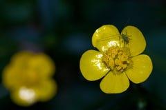Kriechende Butterblume (Ranunculus repens) Stockfoto