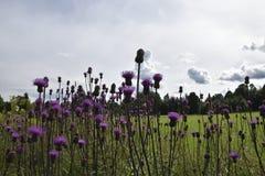 Kriechende Distel Cirsium arvense mit einem grünen Feld und einem Himmel Stockfotografie