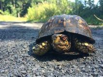 Kriechende Dosenschildkröte auf dem Weg Stockbild