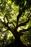 Kriechender Baum Lizenzfreie Stockbilder