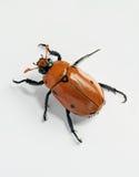 Kriechender verdeckter Käfer-Käfer Stockfotos