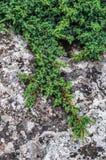 Kriechender Wacholderbusch stockbild