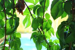 kriechpflanze lizenzfreies stockbild