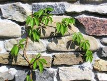 kriechpflanze Stockbilder