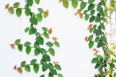 kriechpflanze stockbild