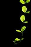 Kriechpflanze-Anlage Stockfoto