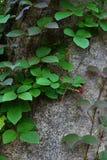 Kriechpflanze auf dem Baum Lizenzfreie Stockfotos