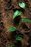 Kriechpflanze auf dem Baum Stockfotografie