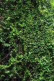 Kriechpflanze auf dem Baum Stockbilder